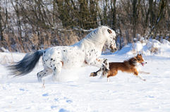Appaloosa pony and border collie in winter. Appaloosa pony and sable border collie runs gallop in winter Stock Image