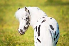 Appaloosa pony portrait. Beautiful little Appaloosa pony portrait in summer Stock Image