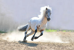 Appaloosa pony running Stock Image