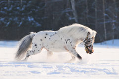 Appaloosa pony running in field Royalty Free Stock Photography