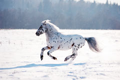 Appaloosa pony runs free through the winter field Royalty Free Stock Photography