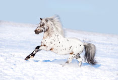 Appaloosa pony runs free through the winter field Stock Images