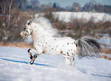Appaloosa pony runs free through the winter field Stock Photography