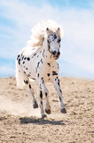 Appaloosa pony runs gallop in dust. On sky background Royalty Free Stock Images