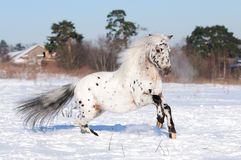 Appaloosa pony runs gallop in winter Royalty Free Stock Photography
