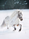 Appaloosa pony in snow Stock Photo