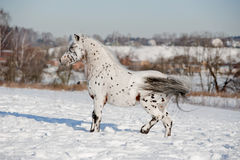 Appaloosa pony stallion Royalty Free Stock Photos