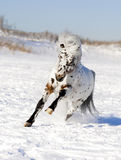 Appaloosa pony winter Royalty Free Stock Photos