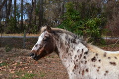Appaloosa spotted pony Stock Images