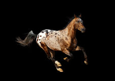 Appaloosa stallion. On a black Royalty Free Stock Image