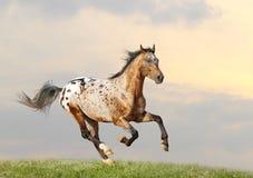 Appaloosa stallion. Running gallop in sunset Royalty Free Stock Image