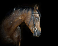 Appaloosa stallion Stock Images