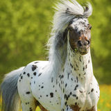 Appaloosa stallion on the meadow in summer Stock Photo