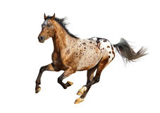 Appaloosa stallion Stock Photography