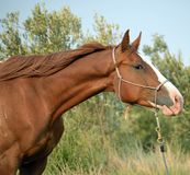 Appaloosa horse head. Appaloosa standing close up of head with rope halter Stock Photography