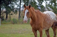 Appaloosa horse in a feild. Appaloosa standing in a paddock Royalty Free Stock Images