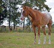 Appaloosa horse in a feild. Appaloosa standing in a paddock Stock Photo