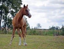 Appaloosa horse in a feild. Appaloosa standing in a paddock Stock Images