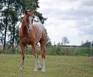 Appaloosa horse in a feild. Appaloosa standing in a paddock Royalty Free Stock Image