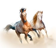 Appaloosa and welsh stallion run in dust Stock Photo