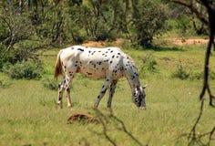 Appaloosapferd, das in einer Weide weiden lässt lizenzfreie stockfotos
