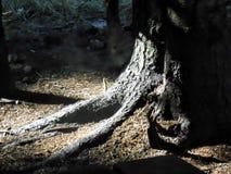 Appanni aumentare dagli alberi nella foresta fotografia stock