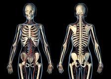 Apparato cardiovascolare di anatomia della donna con le vista frontali di scheletro, posteriori e illustrazione vettoriale