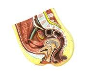 Apparato genitale femminile di anatomia Fotografie Stock Libere da Diritti
