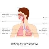 Apparato respiratorio illustrazione di stock