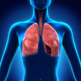 Apparato respiratorio umano Immagine Stock Libera da Diritti