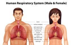 Apparato respiratorio umano illustrazione di stock