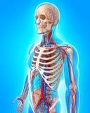 Appareil circulatoire de vue de côté de corps masculin Image libre de droits