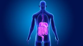 Appareil digestif avec des organes illustration stock