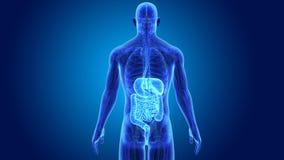 Appareil digestif avec l'anatomie illustration stock