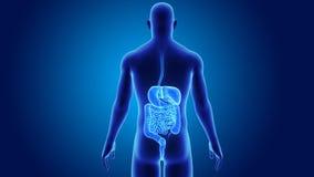 Appareil digestif avec le corps illustration stock