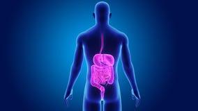 Appareil digestif avec le corps illustration de vecteur