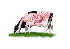 Appareil digestif de vache photos stock