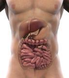 Appareil digestif humain illustration libre de droits