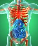 Appareil digestif, poumons, squelette, rayon X Image stock