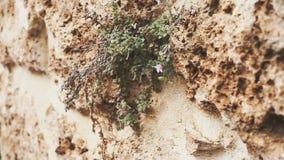 Appareil-photo panoramique Texture d'un vieux mur avec des plantes et des fleurs Le concept de la durée clips vidéos