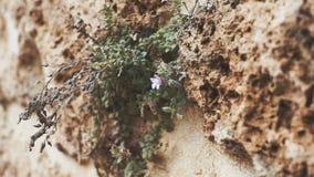 Appareil-photo panoramique Texture d'un vieux mur avec des plantes, des fleurs et la main Le concept de la durée banque de vidéos