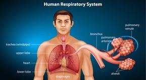 Appareil respiratoire humain illustration libre de droits