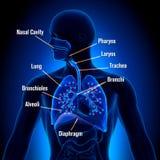 Appareil respiratoire - vue d'anatomie de poumons Photographie stock libre de droits
