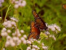 Appareillement de papillon Images libres de droits