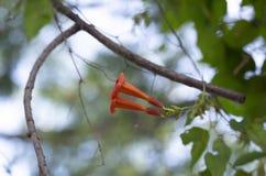 Appareillez des fleurs sur une vigne de trompette photos libres de droits