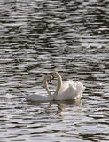 Appareillez les cygnes dans l'amour flottant sur la rivière Photos libres de droits