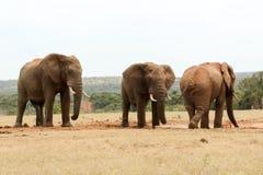Apparence d'éléphant de Bush qui ` s le patron Photo libre de droits
