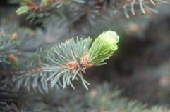 Apparire bello verde del germoglio del pino immagini stock