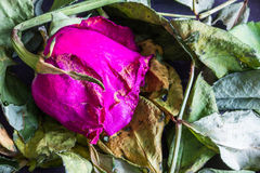 Appassito è aumentato sul mucchio delle foglie decomporrsi Immagini Stock Libere da Diritti