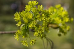 Green flowers of the maple on the branches of the tree. royalty free stock photography